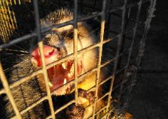 Opossum Trapping and Removal 24/7