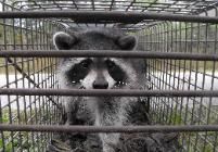 Raccoon trapper in Plant City