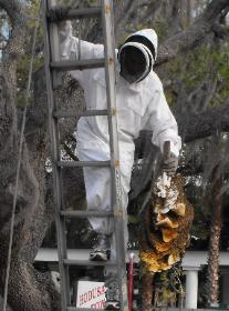 Live bee removal in Pinellas Park