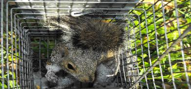 Squirrel trapper in St. Petersburg
