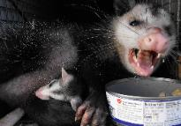 Opossum removal in Plant City