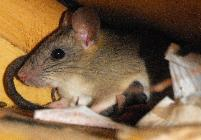 Get rid of rats in Plant City